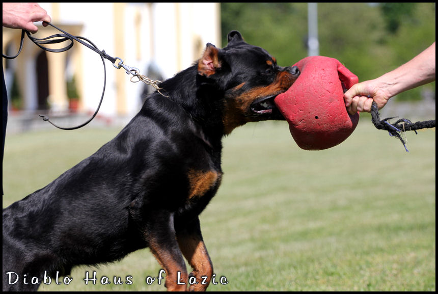 Rottweiler Diablo07